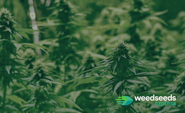 Wondering how hard it is to grow weed? Check this blog!
