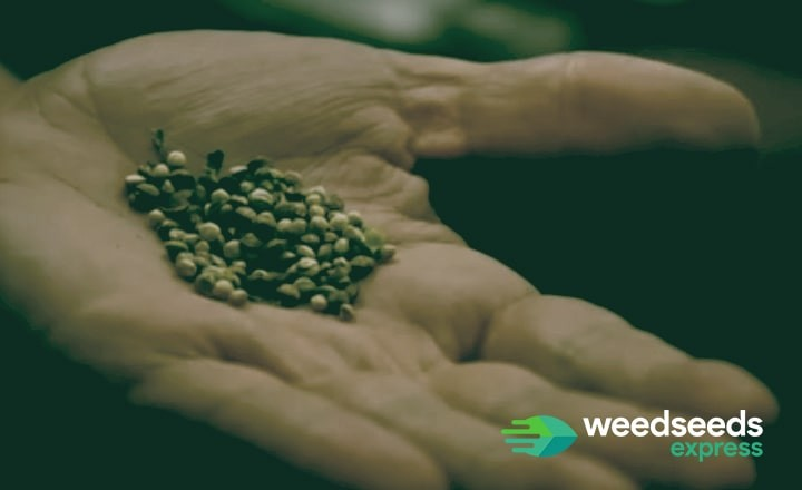 Do you wonder how many weed seeds you need to grow a cannabis plant? Read this blog.