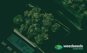 How much weed does one plant yield
