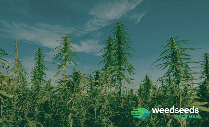 Curious how tall weed plants can grow? Check it out!