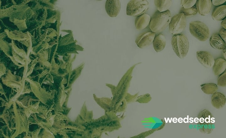 Would you like to know how to choose seeds for growing weed? Read this blog!