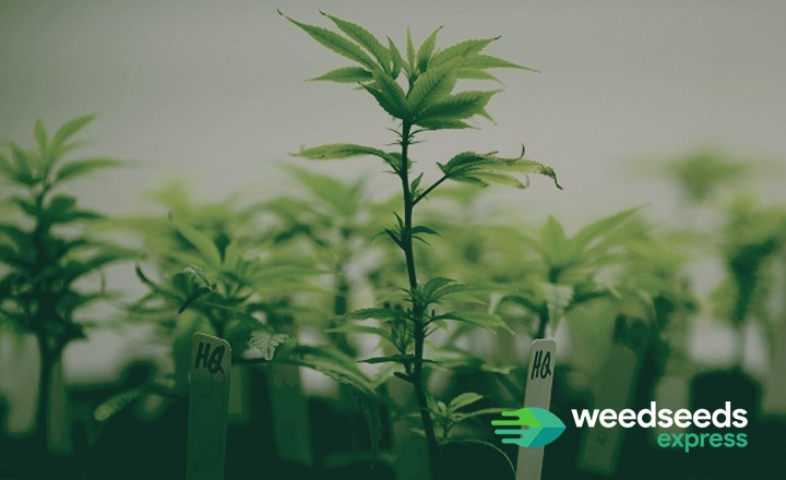 Curious how to clone a weed plant? Check it out!
