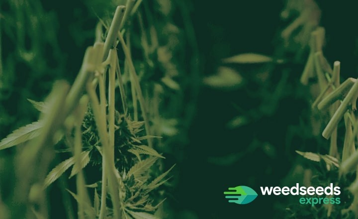 Wondering how to dry and cure cannabis? Read this blog!