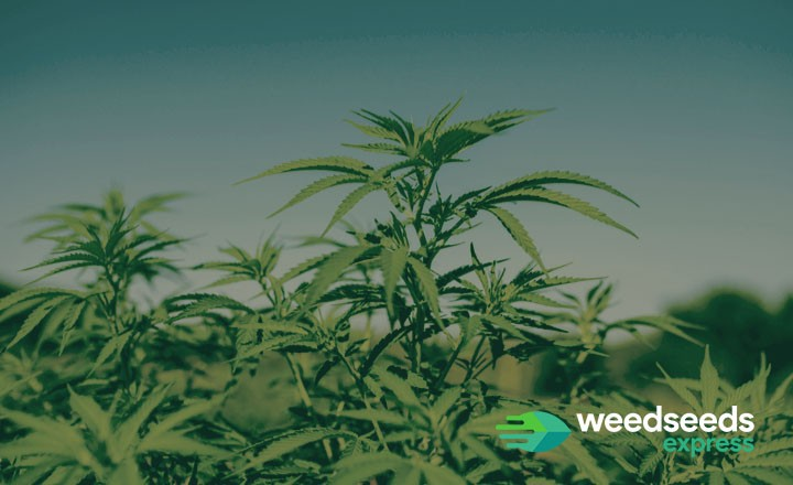 Curious how to grow a weed plant outside with no equipment? Check it out!
