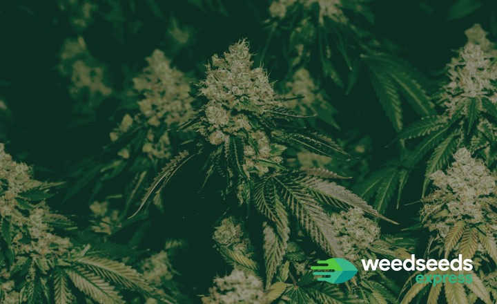Curious how to grow dense buds? Check it out!