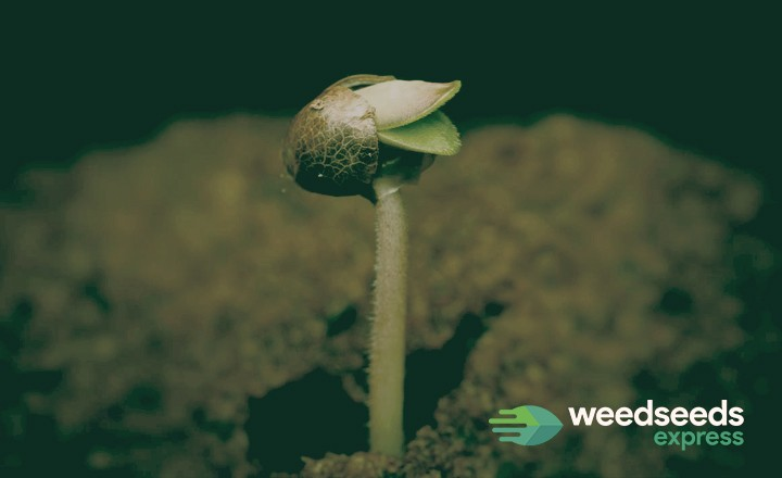 Read our blog about: how to grow germinated weed seeds