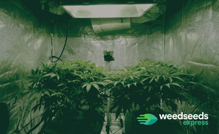 How to grow hydroponic weed? Check it out!