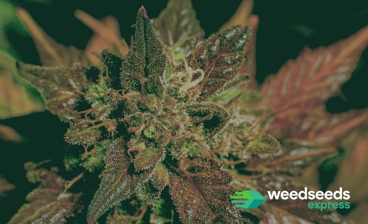 Want to know how to grow purple weed? Check our newest blog!