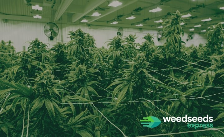 Read more about how to grow weed indoors