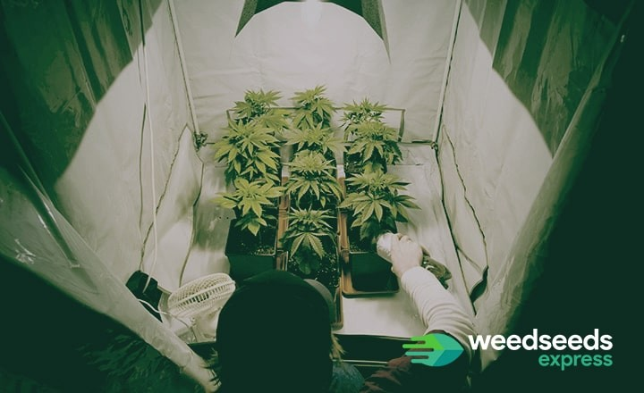 Would you like to know how to grow weed? Read our blog with the basics of growing weed