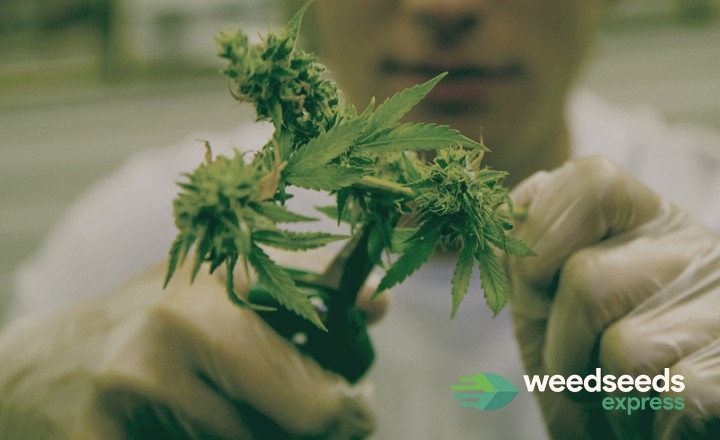 Read our blog about how to harvest cannabis and how to cut your buds!!