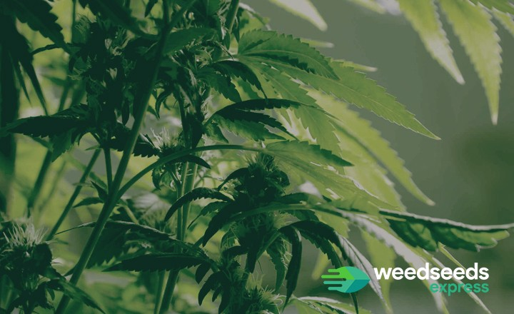 So how to make weed plants grow faster? You read it here!