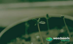 How to Plant Weed Seeds After Gemination?