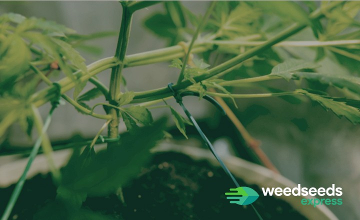 Curious how to apply LST (Low Stress Training) to autoflowers? Check it out!