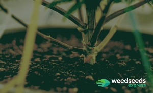 What you should know about mainlining weed plants