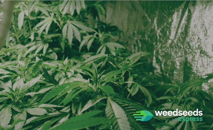 Want to grow weed in a marijuana grow tent? Check this blog for information!