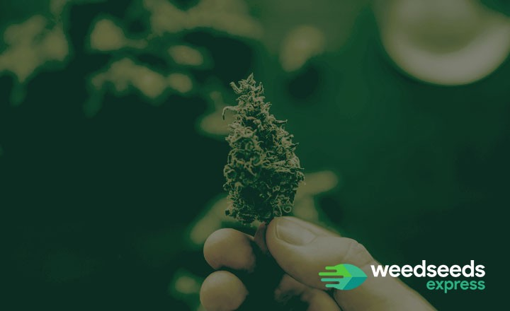 All you should know about Sinsemilla weed
