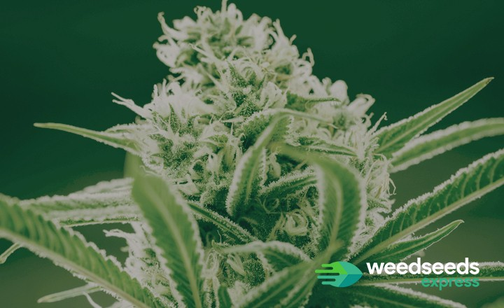 Curious to the strongest weed strains? Check it out!