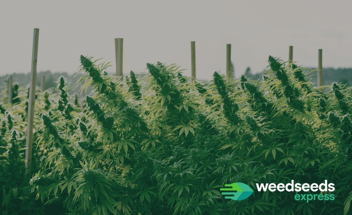 Curious how to support heavy buds outdoors? Check it out!
