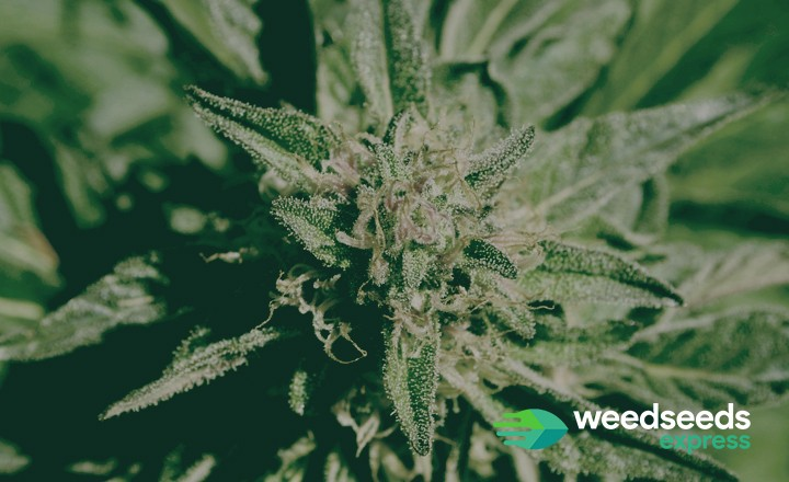Check our top 10 best strains of all time!