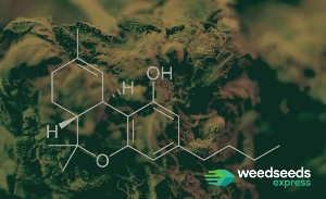 Top 10 Best Strains for Rosin to Grow - 2021 UPDATE