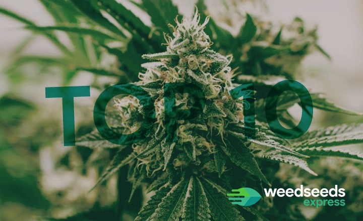 Check out our top 10 weed strains!