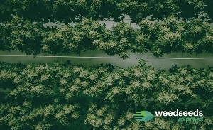 Top 15 Highest Yielding strains ever