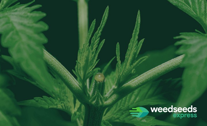 Curious how topping autoflowers is done in a safe manner? Check it out!