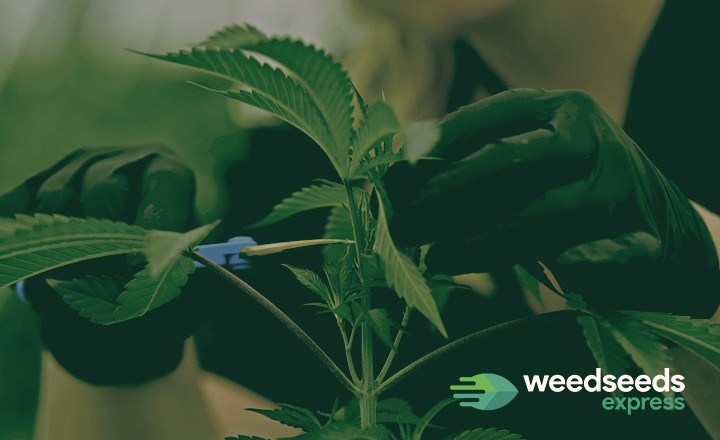 Want to start topping your weed plants? This is how you do it properly!