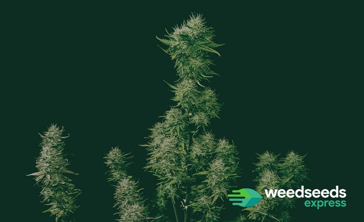 What is Lollipopping Cannabis Plants and How to Lollipop?