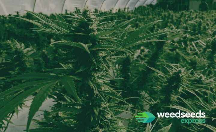 Curious when to harvest autoflowers? Check it out!