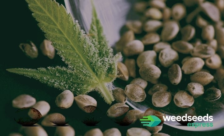 Where to buy weed seeds from a reliable weed seed bank? Check out this blog!