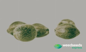 What you should know about white weed seeds