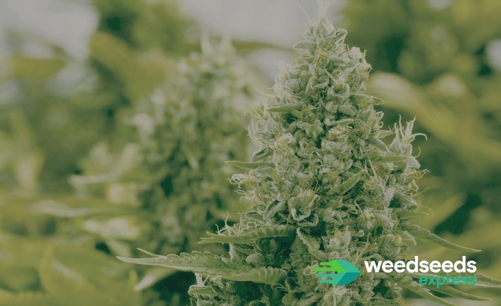 Curious to the best white weed strains? Check it out!