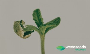 Your guide to spot the most trusted and Reliable Seed Banks online!