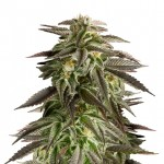 Blue Cheese autoflowering feminized seeds plant thumbnail