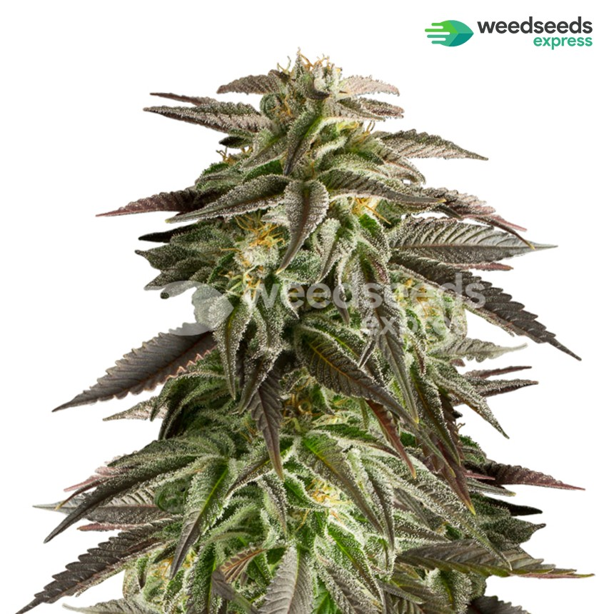Blue Cheese autoflowering feminized seeds plant