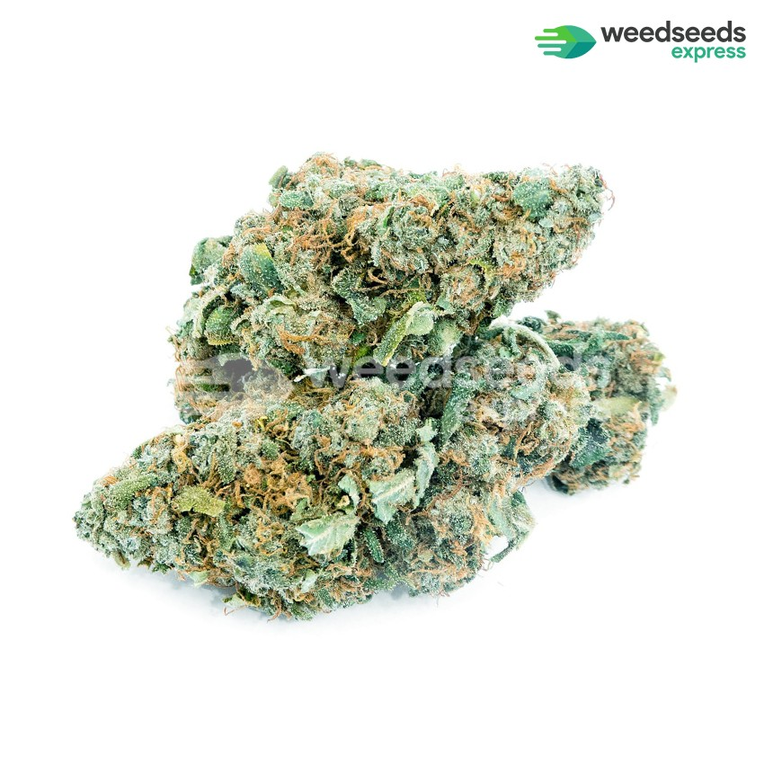 Blue Dream feminized seeds bud
