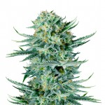 Blue Dream feminized seeds plant thumbnail