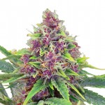 Blueberry autoflowering feminized seeds plant thumbnail
