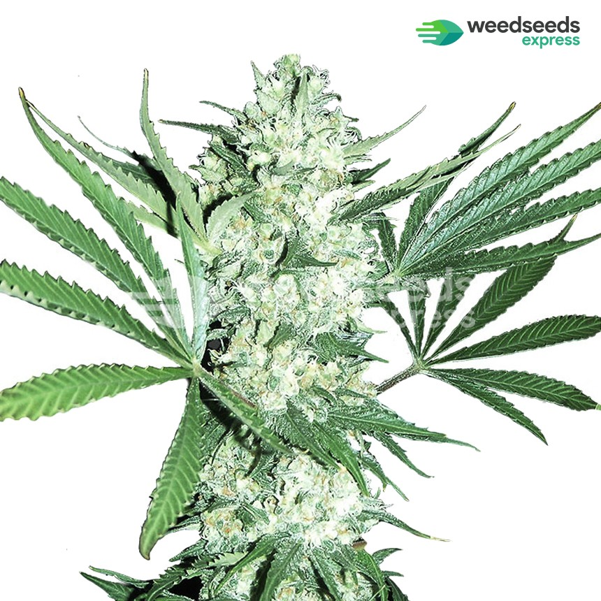 Bruce Banner feminized seeds | Free + Worldwide shipping