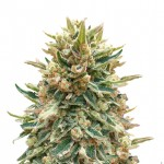 Bubba Kush feminized seeds plant thumbnail