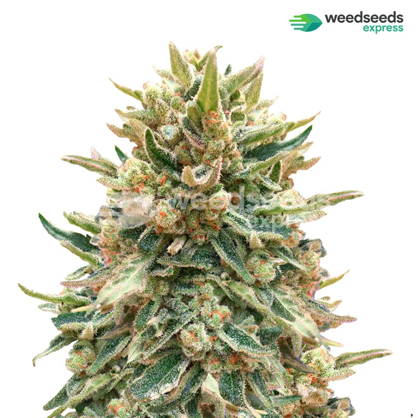 Bubba Kush feminized seeds plant