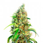 Bubblegum feminized seeds plant thumbnail