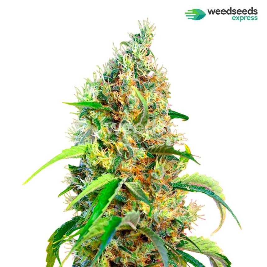 Bubblegum regular seeds plant