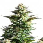 C-47 feminized seeds plant thumbnail