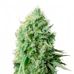 Cannatonic feminized seeds plant thumbnail