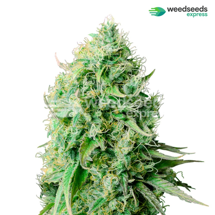 Cannatonic feminized seeds plant