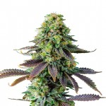 Chemdawg feminized seeds plant thumbnail