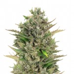 Critical CBD feminized seeds plant thumbnail